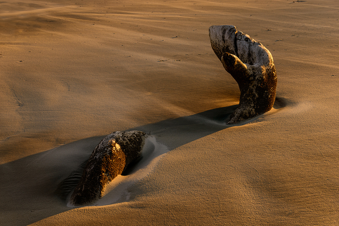 The root of an old maritime forest tree snakes its way through the sand; resembling an ancient sea serpent of folklore.