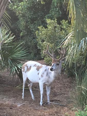 I Pieblock deer on Seabrook Island, SC